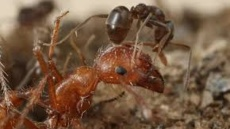 Argentine ants - Agricultural Solutions